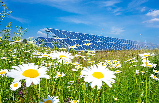 Solar farm panels in a field of daisies