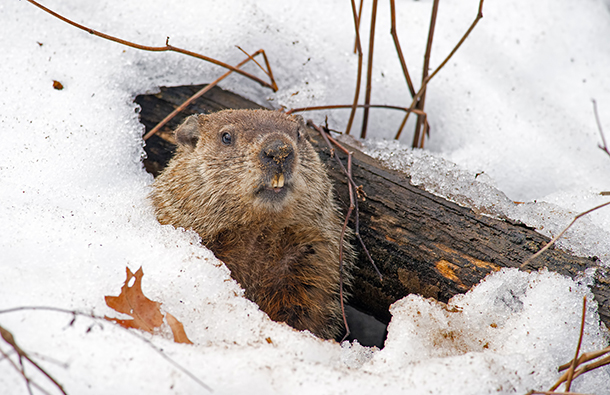 Groundhog in Winter peeking out of his hibernation hole