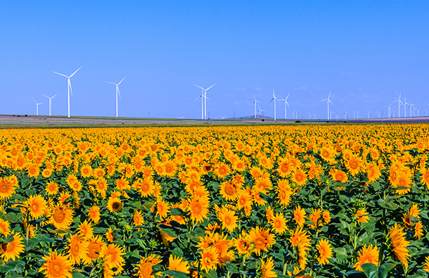 Sunflower field with wind turbines in the background