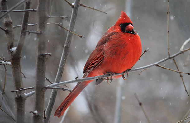 A red male cardinal on a tree branch in winter