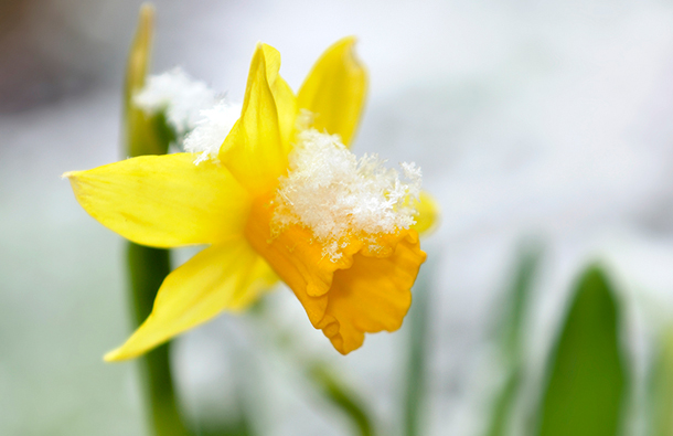 Closeup of a yellow daffodil bloom that's partially covered in snow.