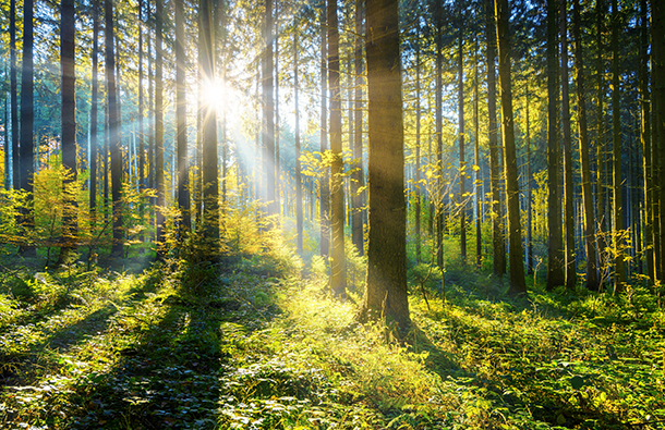 Image of a beautiful green forest that has sunlight streaming through the trees