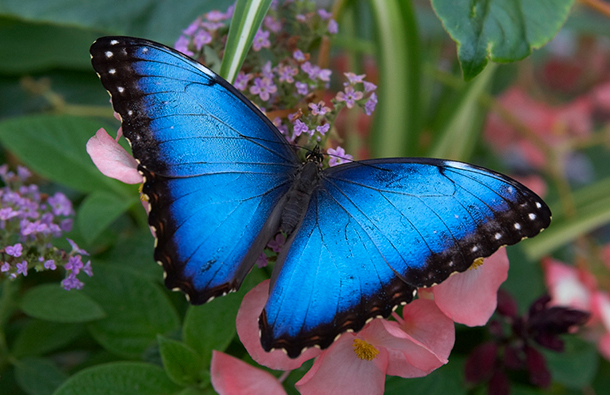 Closeup image of a beautiful blue butterfly on a flower